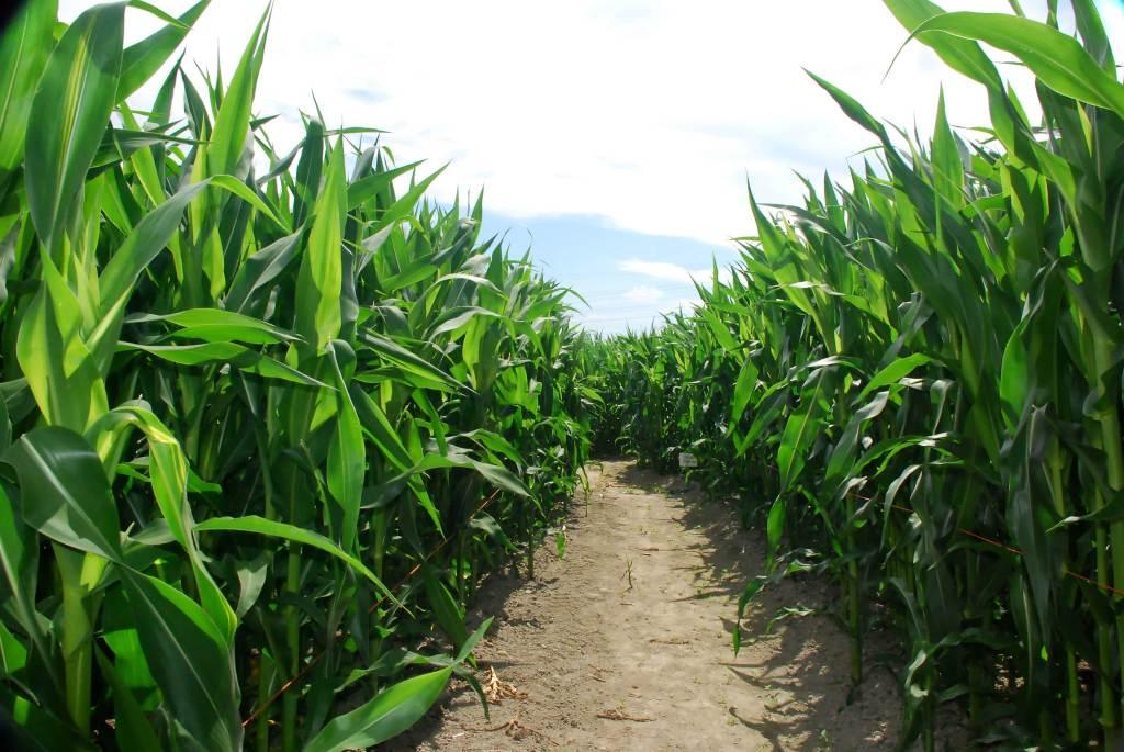 Inside Corn Maze